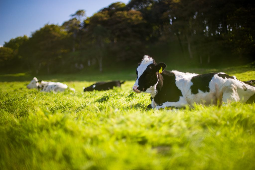Cows laying on grass